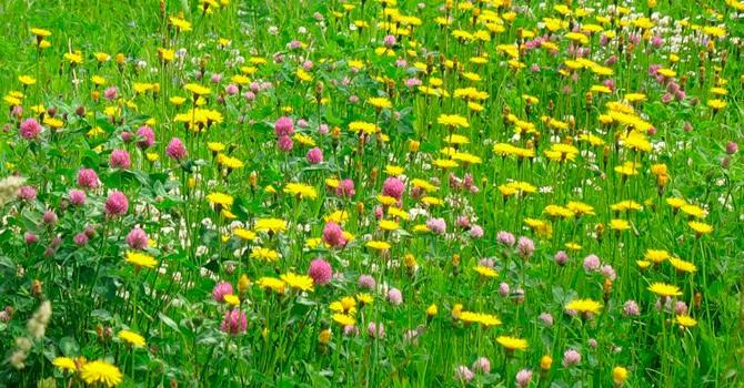 Луговой газон умиляет своим видом