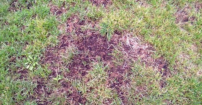 Неудачная попытка садоводов вырастить газон