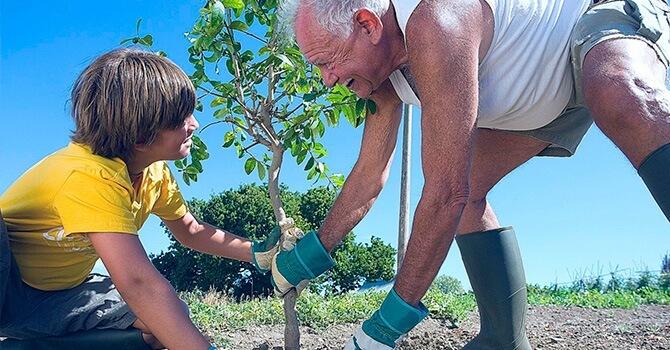 Посадка привитых саженцев плодовых деревьев