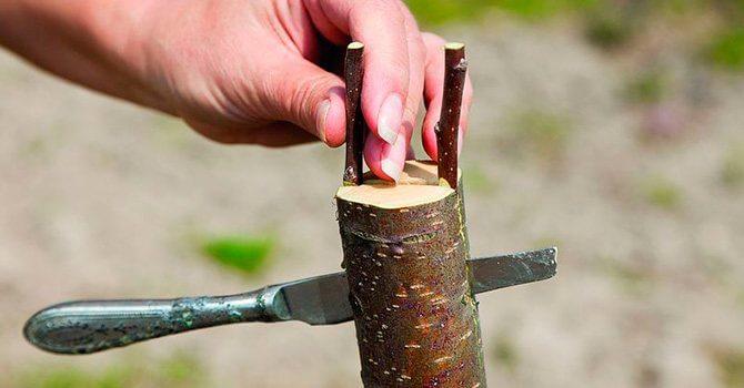Прививка в расщеп ствола
