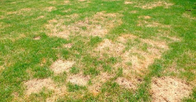 Пожелтевшая трава на газоне