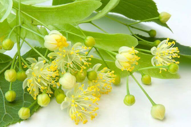 Цветы липы