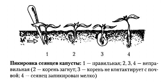 Правильная пересадка капусты