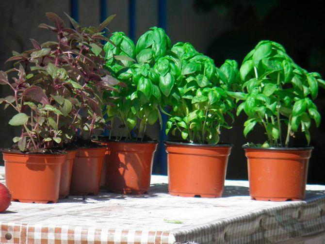 Выращивание базилика в горшочках