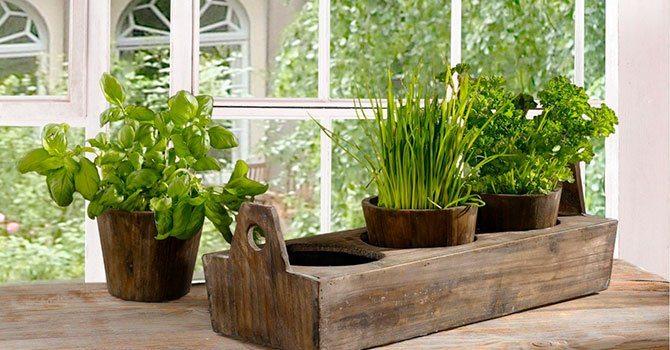 Выращивание пряных трав на подоконнике