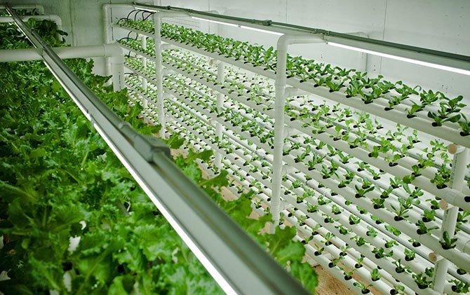Салат на гидропонной ферме