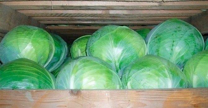 Как сохранить урожай капусты
