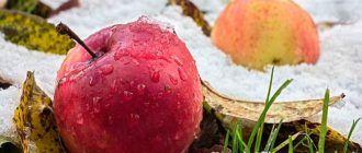 Храним яблоки зимой