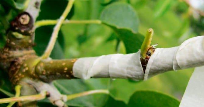 Что такое окулировка плодовых деревьев