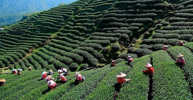 Сезон сбора зеленого чая