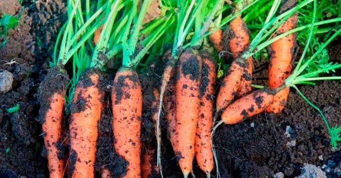 Выбор сортов моркови для длительного хранения