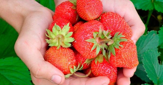 Свежая клубника – кладезь витаминов
