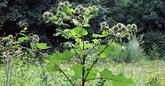 Очень крупное растение
