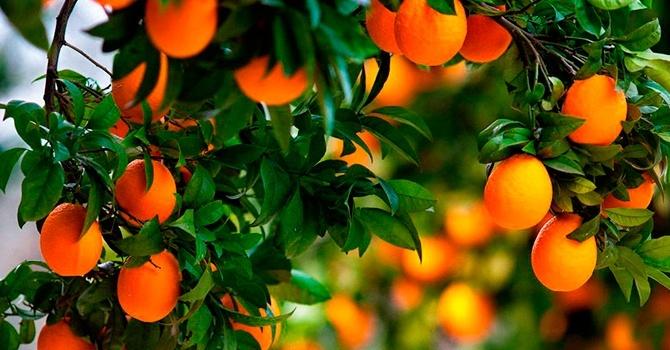 Райский цитрусовый сад