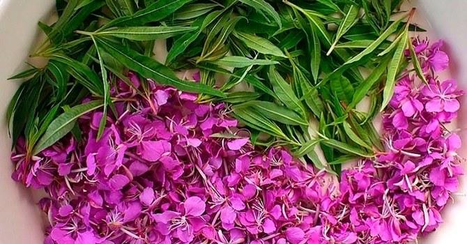 Заваривание чая из свежих листьев и цветков