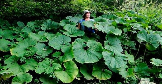 Белокопытник с огромными листьями