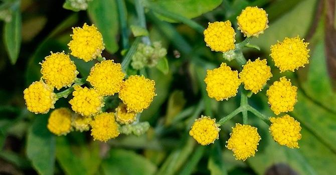 Бальзамическая разновидность травы пижмы