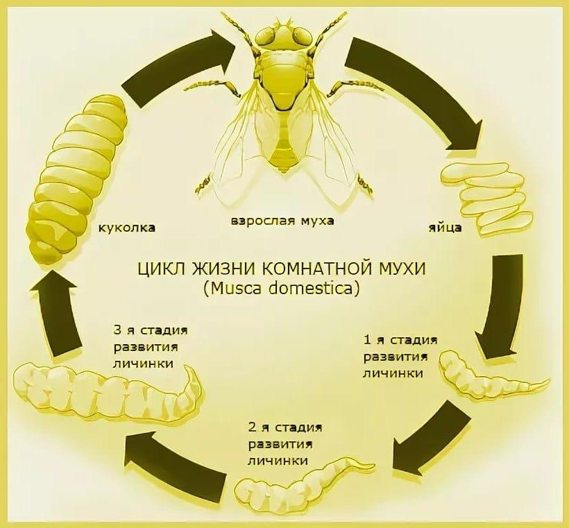 Цикл жизни мухи