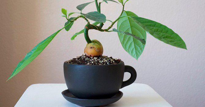 Из косточки авокадо можно вырастить деревце дома