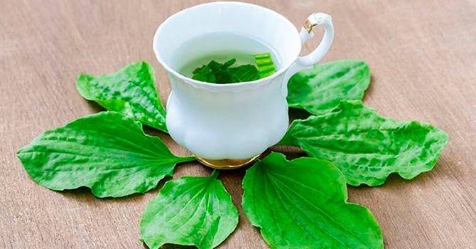 Настойка из листьев подорожника помогаем при лечении различных заболеваний