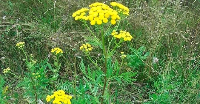 Обыкновенный вид травы пижмы