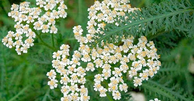 Тысячелистник в период цветения