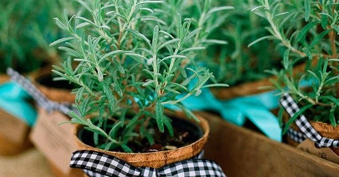 Розмарин можно выращивать в горшке