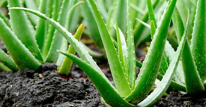 Алоэ вера – лекарственный вид растения