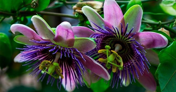 Как цветет дерево маракуйи