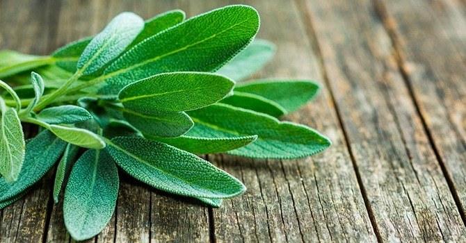 Использование листьев шалфея в народной медицине