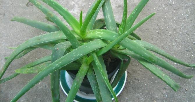 оригинальное растение вида Джексон