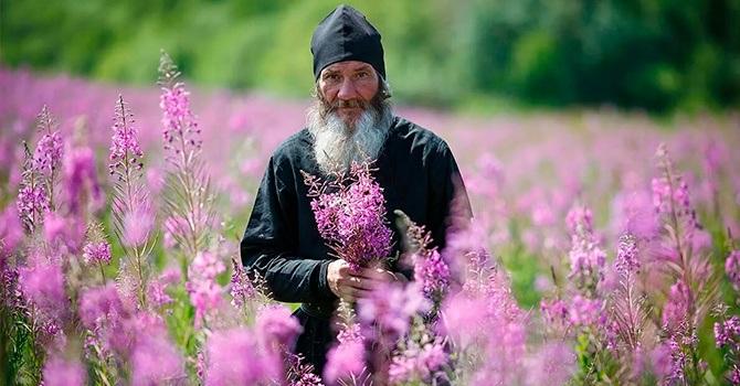Сбор цветков для копорского чая
