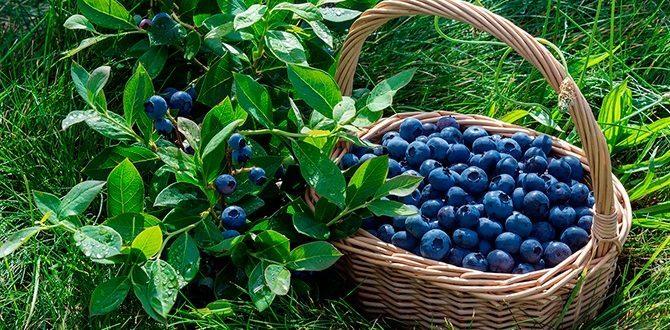 Голубика: полезные свойства для организма