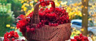 Калина: полезные свойства ягоды