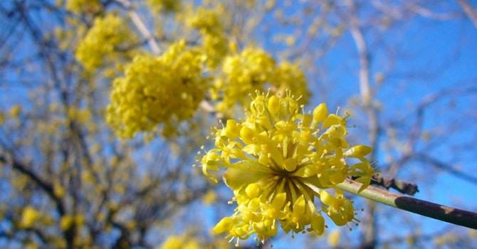 Короткий период цветения кизила