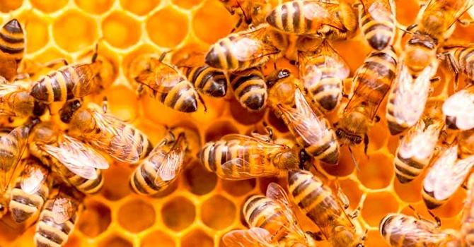 Польза и вред пчелиного меда в сотах