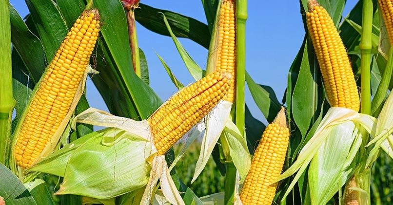 Кукуруза – полезные свойства для здоровья