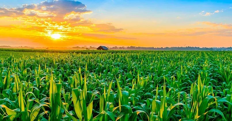 Огромное кукурузное поле