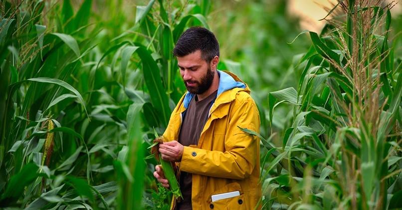Польза кукурузы для мужчин