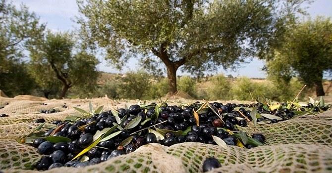 Выращивание и сбор плодов оливы