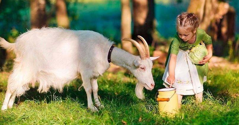 Козье молоко – польза и вред напитка