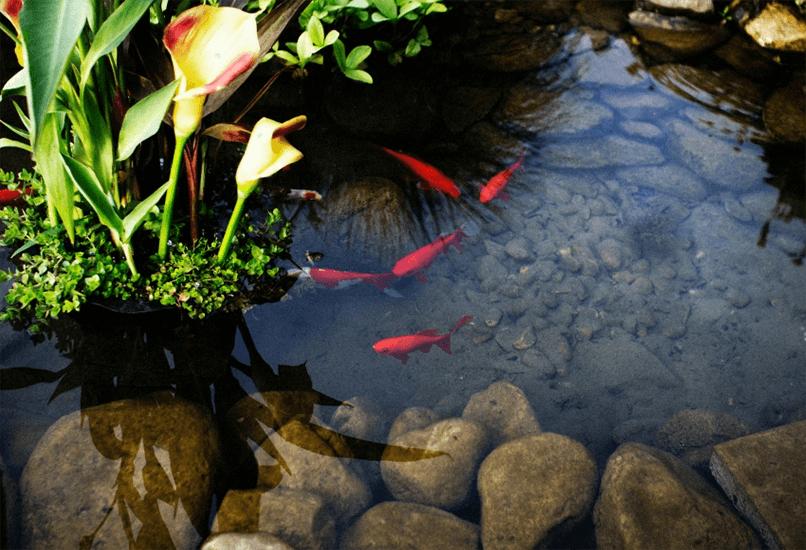 Декоративные рыбки в искусственном водоеме