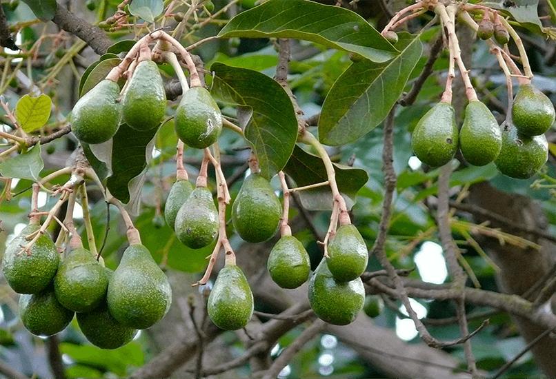 Как растет экзотический фрукт