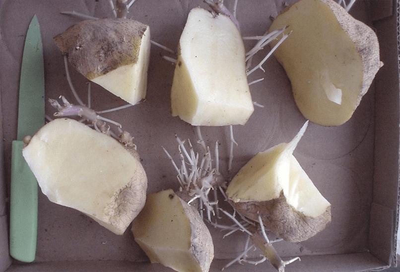 Как разрезать посадочный клубень на кусочки