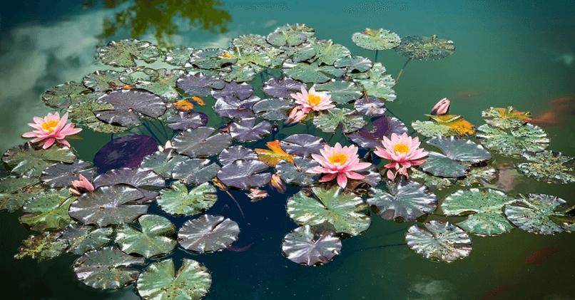 Пруд в саду, заполненный нимфеями
