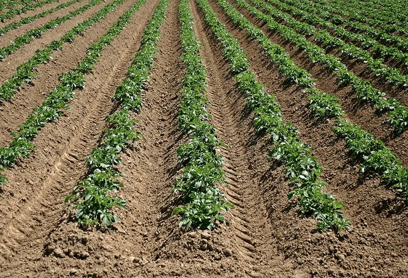Схема посадки картошки