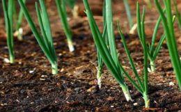 Как сажать лук-севок