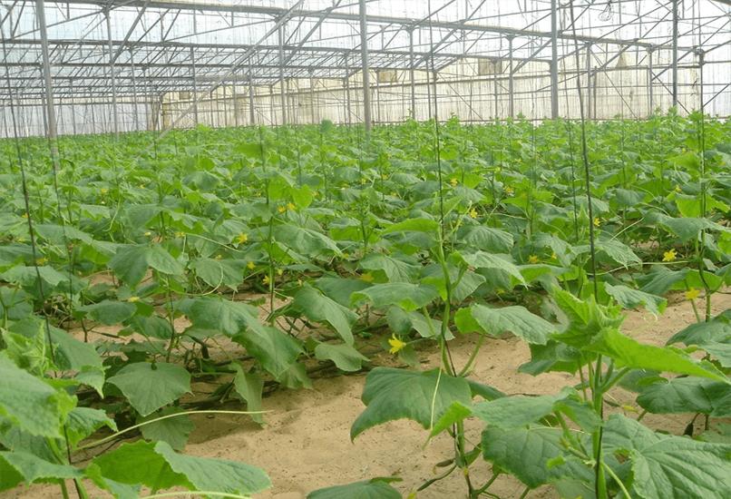 Как вырастить фермерские огурцы в теплице