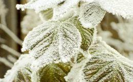 Как правильно подготовить малину к зиме