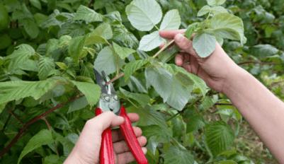 Когда обрезать малину
